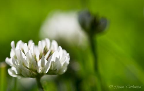 042 White clover