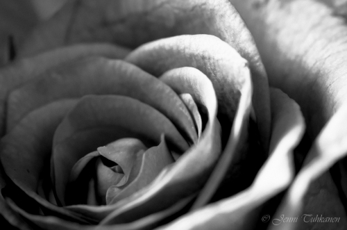 048 Black and white rose