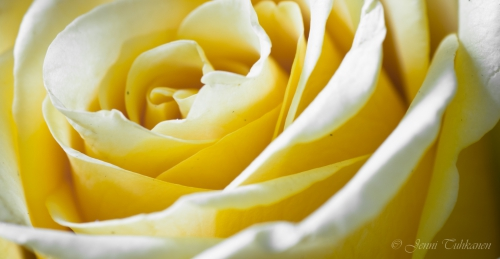 081 Yellow rose