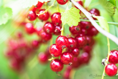 035 Red currants
