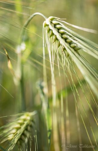 006 Humble barley