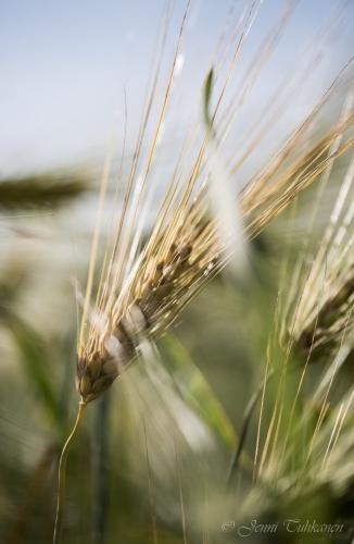005 Barley