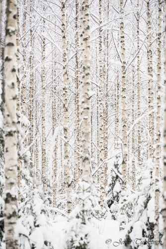 122 Snowy birches