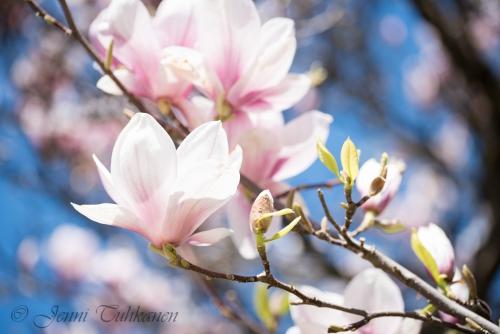 013 Magnolia