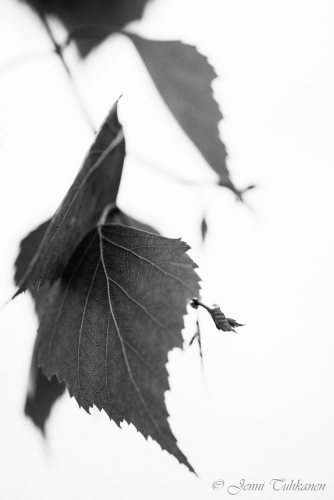 109 Birch leaves