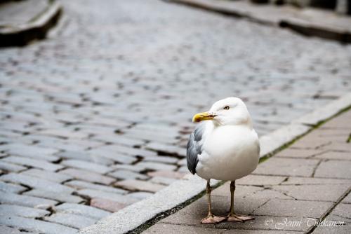 111 City gull