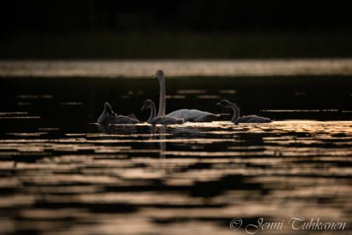 144 Swan lake